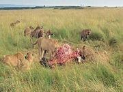 Lake Nakuru / Maasai Mara Tour