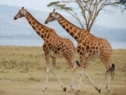 4 Days Masai Mara/ Lake Nakuru Camping Safaris (  )