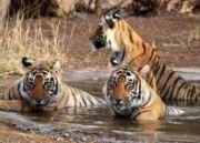 Rajasthan Tigers + Agra