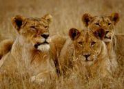 Uganda Gorillas And Lions Budget Tour ( 6 Days/ 5 Nights )