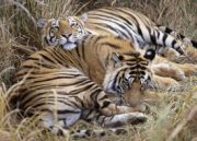 8 Days Golden Triangle with Ranthambhore Tour (  7 Nights )
