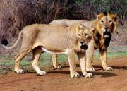 Gir National Park Weekend Getaway Tour (  )
