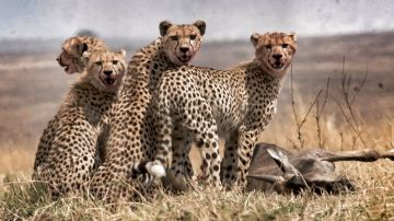 11 Days- Serengeti, Lake Manyara, Ngorongoro  Crater & Z