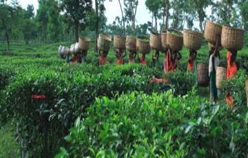 tea garden & lawachara  rainforset
