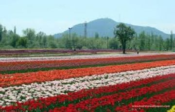 Special Tulip Garden Tour Package