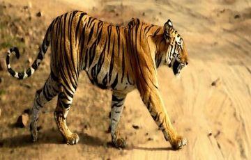 Trip to Kanha Package