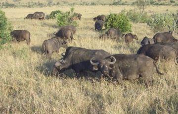 4 Days Masai Mara/ Lake Nakuru Camping Safaris