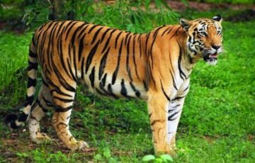 Untamed Tigers Tour Package