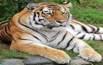 Central India Tigers & The Taj