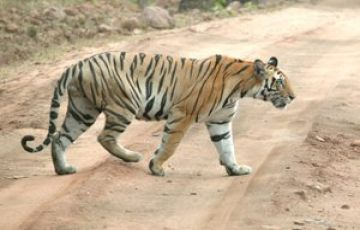 THE LAND OF TIGER TOUR PACKAGE 2 NIGHTS AND 3 DAYS