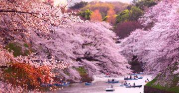 Cherry Blossom Japan Tour