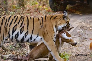 Tadoba Wildlife Tour