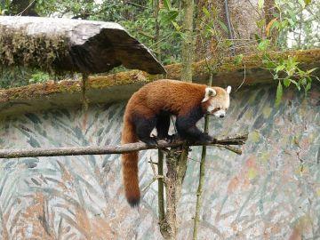 Land of Red Panda Darjeeling