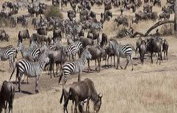 Masai Mara Wildebeest Migration Safari Tours