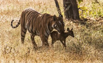 Tadoba Nagzira And Pench Tour  Durvansh Travels