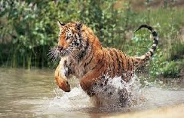 The Real Land Of Tigers