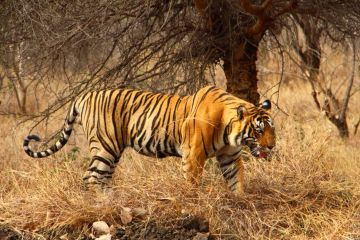 Tiger Trail Pench National Park