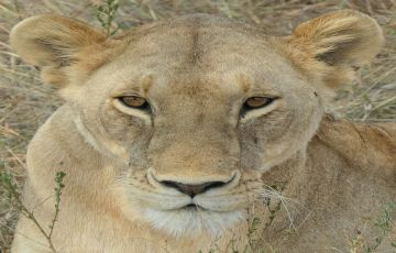 3days 2nights Maasai Mara game reserve  4 star Kenya Safari