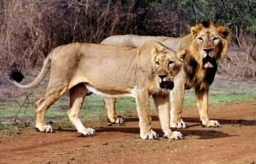 Lion and Rann Of Kutch Tour Package