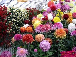 Chrysanthemums Show