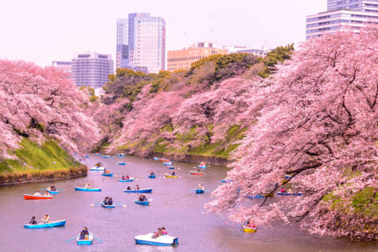 National Cherry Blossom Festival 2020 In Japan Photos Fair Festival When Is National Cherry Blossom Festival 2020 Hellotravel,Perennials Plant With Purple Flowers And Green Leaves