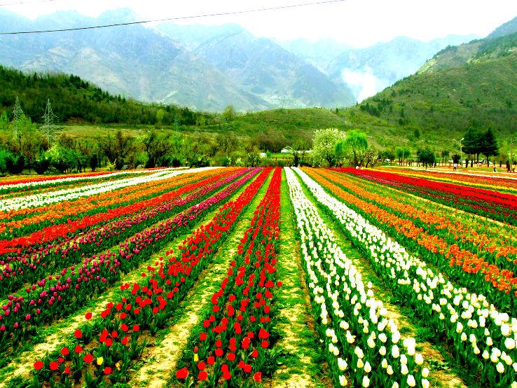 Tulip Festival 2020 in India, photos, Fair,Festival when is Tulip ...