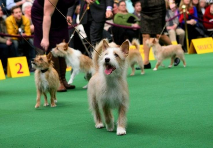 Westminster Kennel Club Dog Show 2019 in Madison Square Garden, New