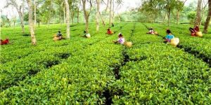 Discover Assam A Land Of Tea Wildlife and Music