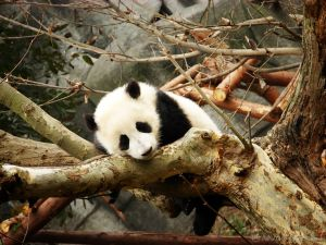 All about Chengdu - Panda breeding center in China