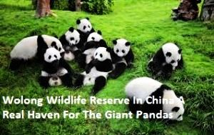 Wolong Wildlife Reserve In China A Real Haven For The Giant Pandas