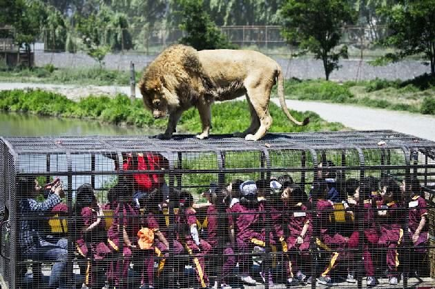 In Chilean Parque Safari Zoo, You're the one in a cage !