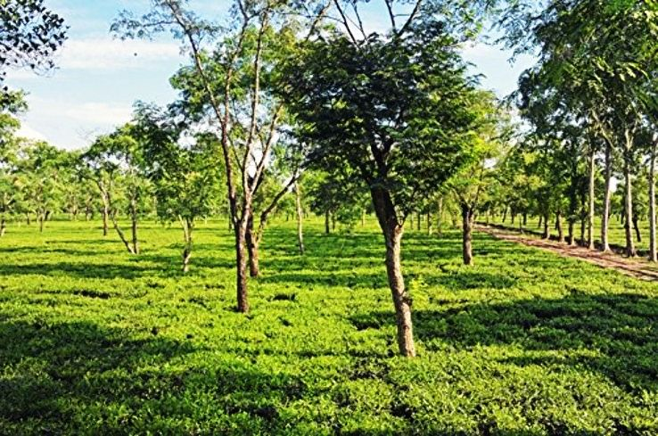 5 Tea Estates In Assam That Are a Little Paradise On Earth