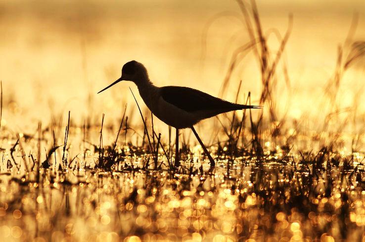 Black-winged-Stilt-Sultanpur-Bird-Sanctuary-Mohit-Verma_0_1426325216e11.jpg