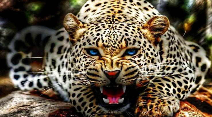 Jaguars-in-Brazil_1425722797u30.jpg