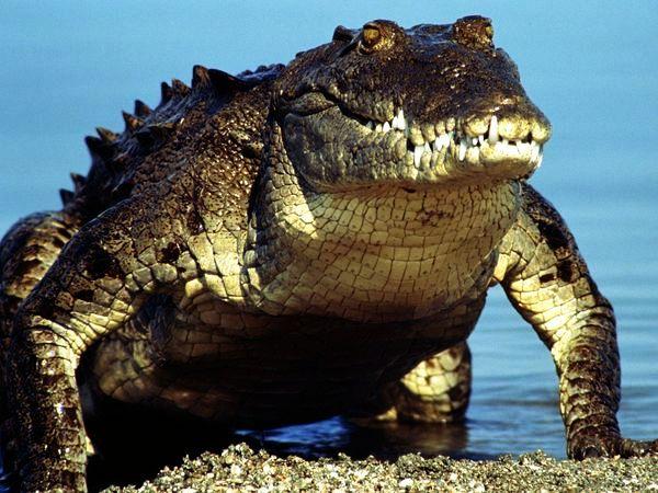 american-crocodile_219_600x450.jpg