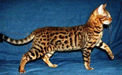bengal-cat_0.jpg