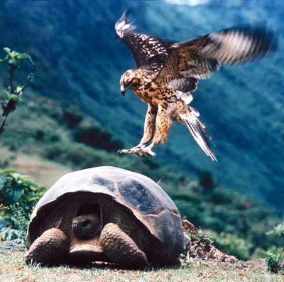 galapagos-tortoise-hawk.jpg
