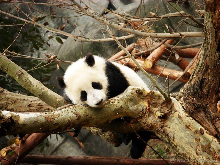 All about Chengdu - Panda breeding center in China