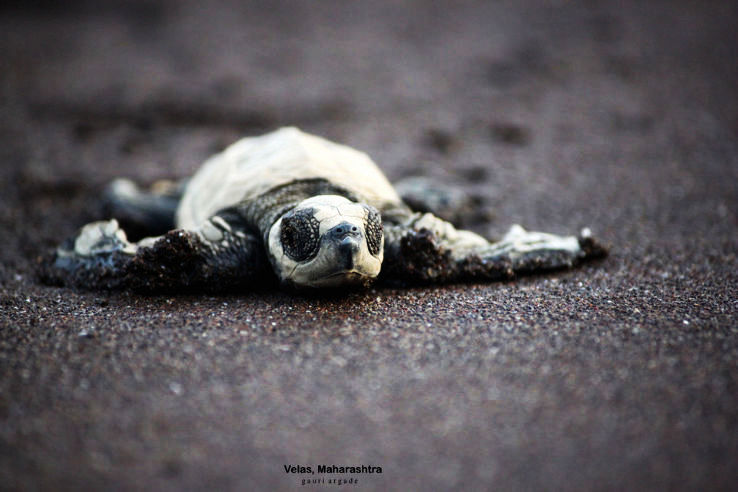 MTDC Organizes Anjarle Turtle Festival To Preserve Rare Species Of Turtles