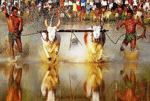 Maramadi Bull Race