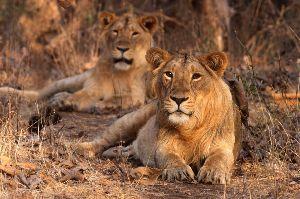 Your Wildlife Tour Begins At Gir National Park, Gujarat