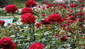An Evening In The Nehru Rose Garden