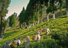Tea Gardens Of Kurseong