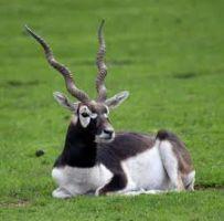 Black Buck Watching
