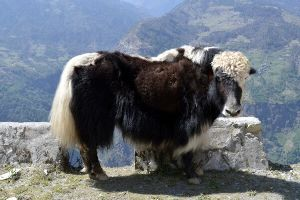 National Research Centre On Yak