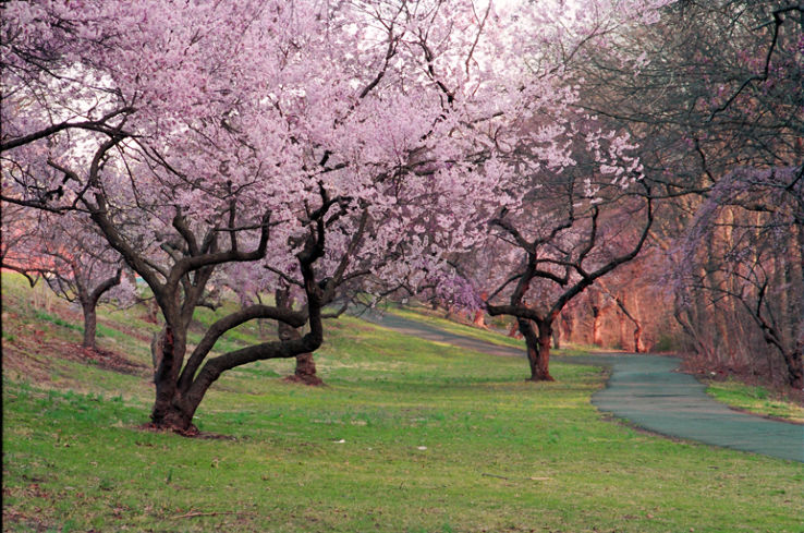 Branch Brook Park Cherry Blossom Festival 2020.Cherry Blossoms At Branch Brook Park 2019 1 Top Things To